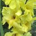 Sarı Glayör